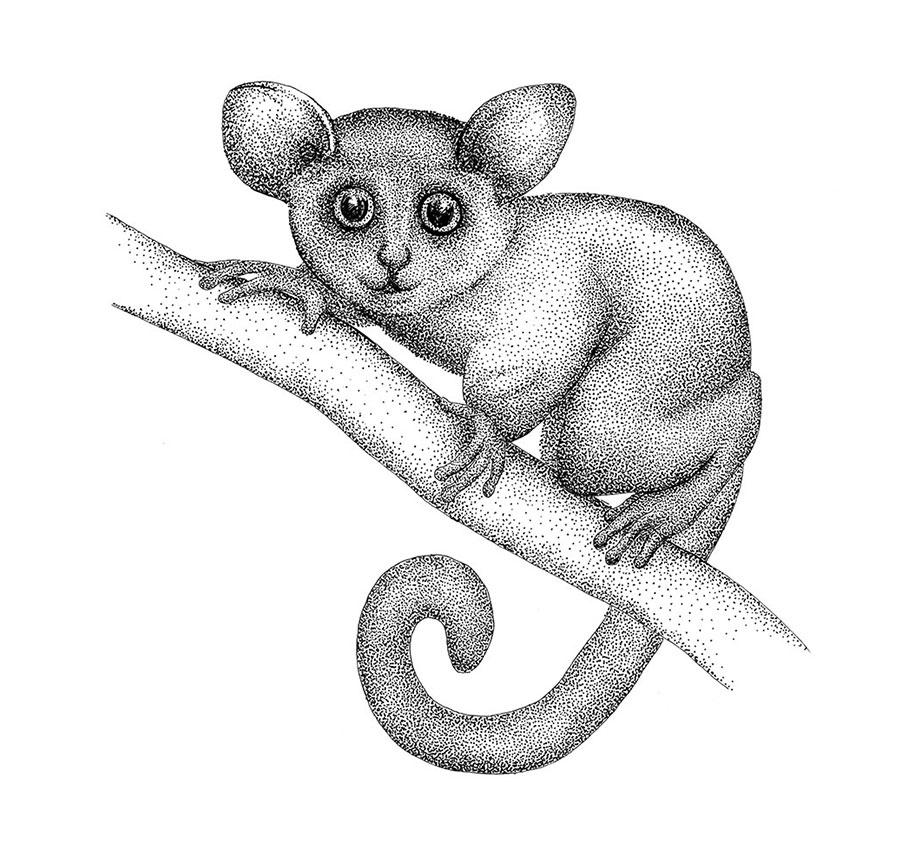 cartoon media: Cartoon Drawing Bushbaby